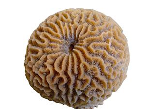 #234 Large Platygyra Brain Coral $44