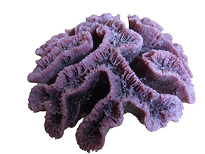 #260 Open Flower Brain Coral $28