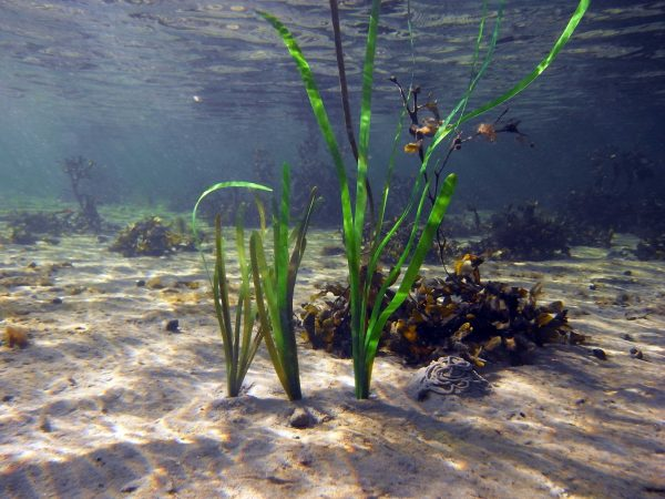 Pangea America offers thalassia testudinum, or turtlegrass for your aquatic exhibits